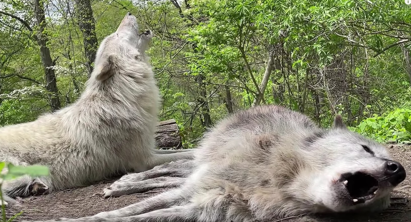 Lazy Wolves Howing