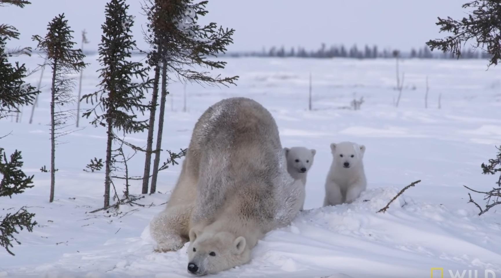 Polar Bear Family Emerge From Den