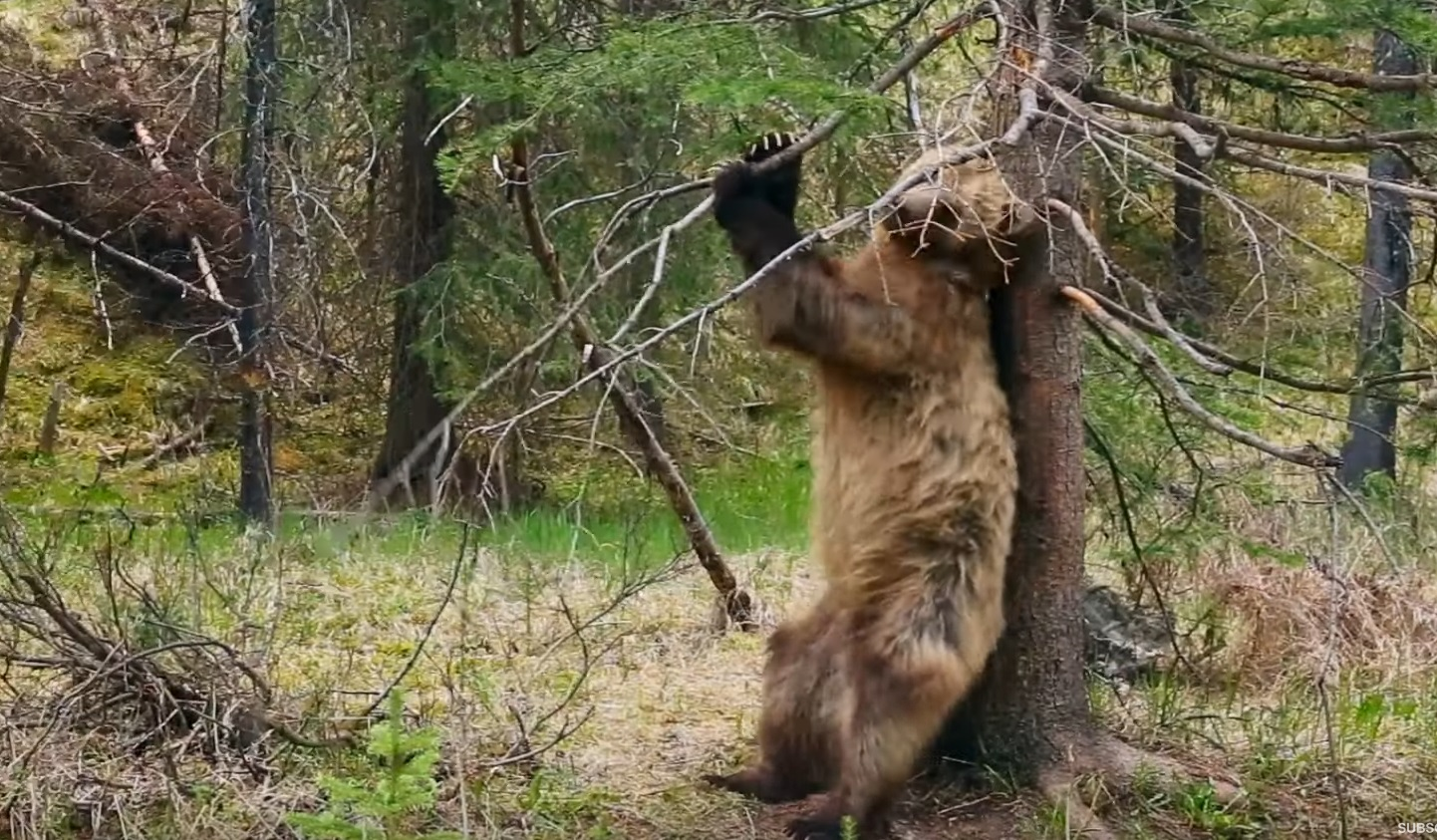 Bears Scratching Their Backs On  Trees