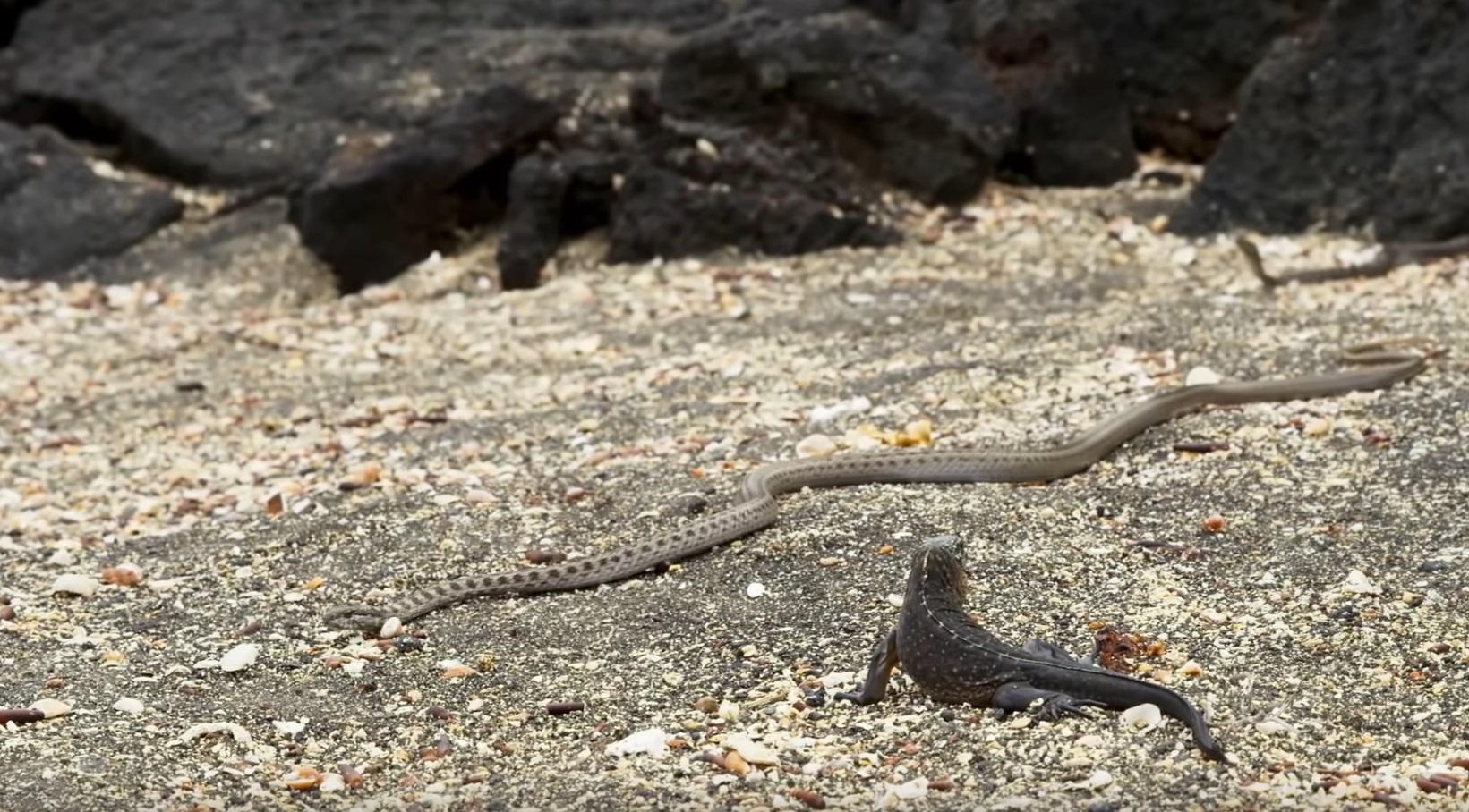 Iguana Vs Snakes
