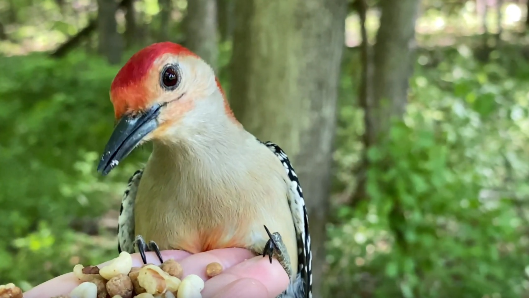 Close Up With Red-bellied Woodpecker