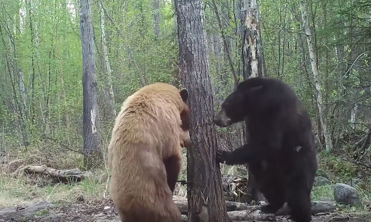 Bears Stand Off