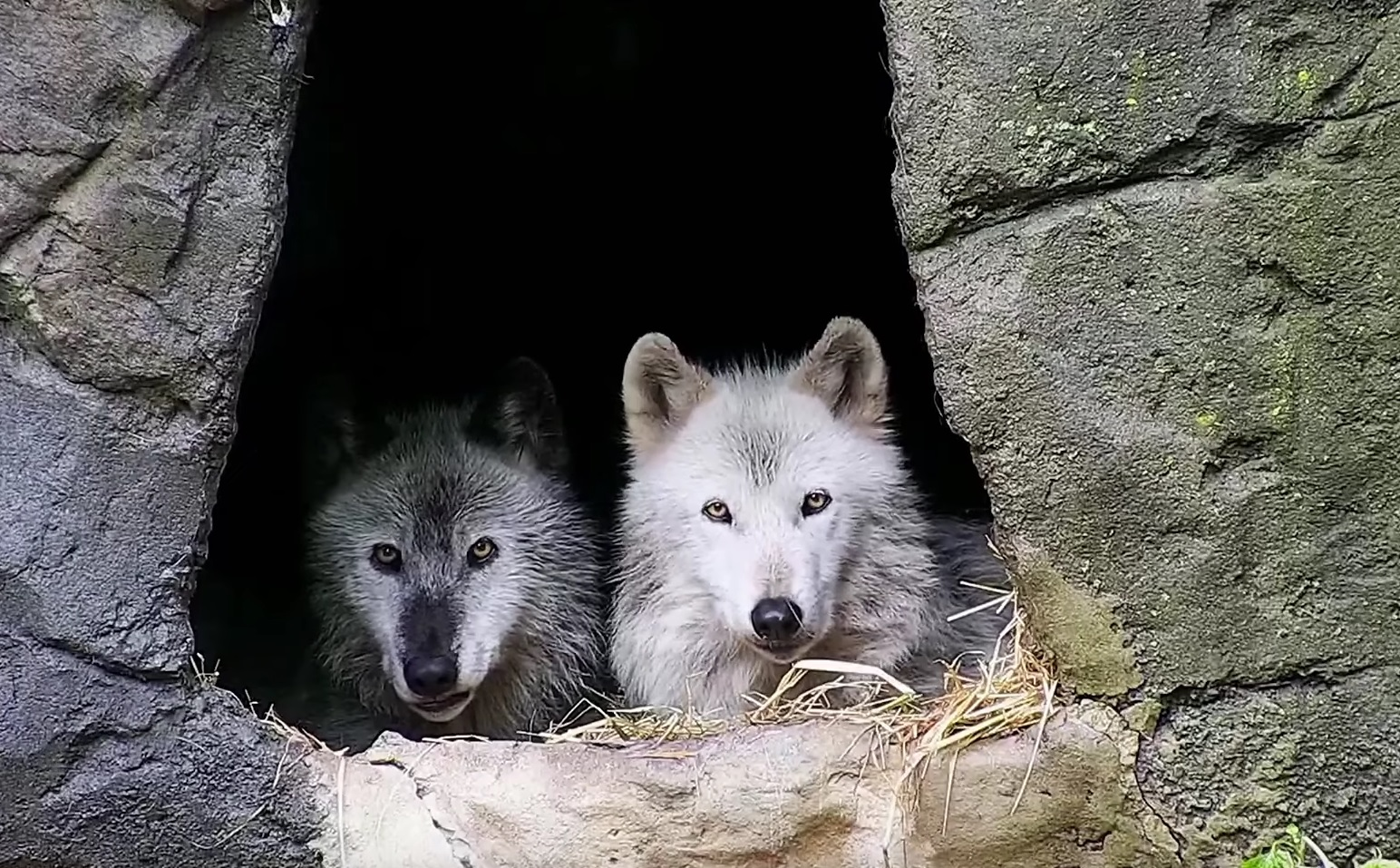 Wolves Jolted Awake By Thunderstorm