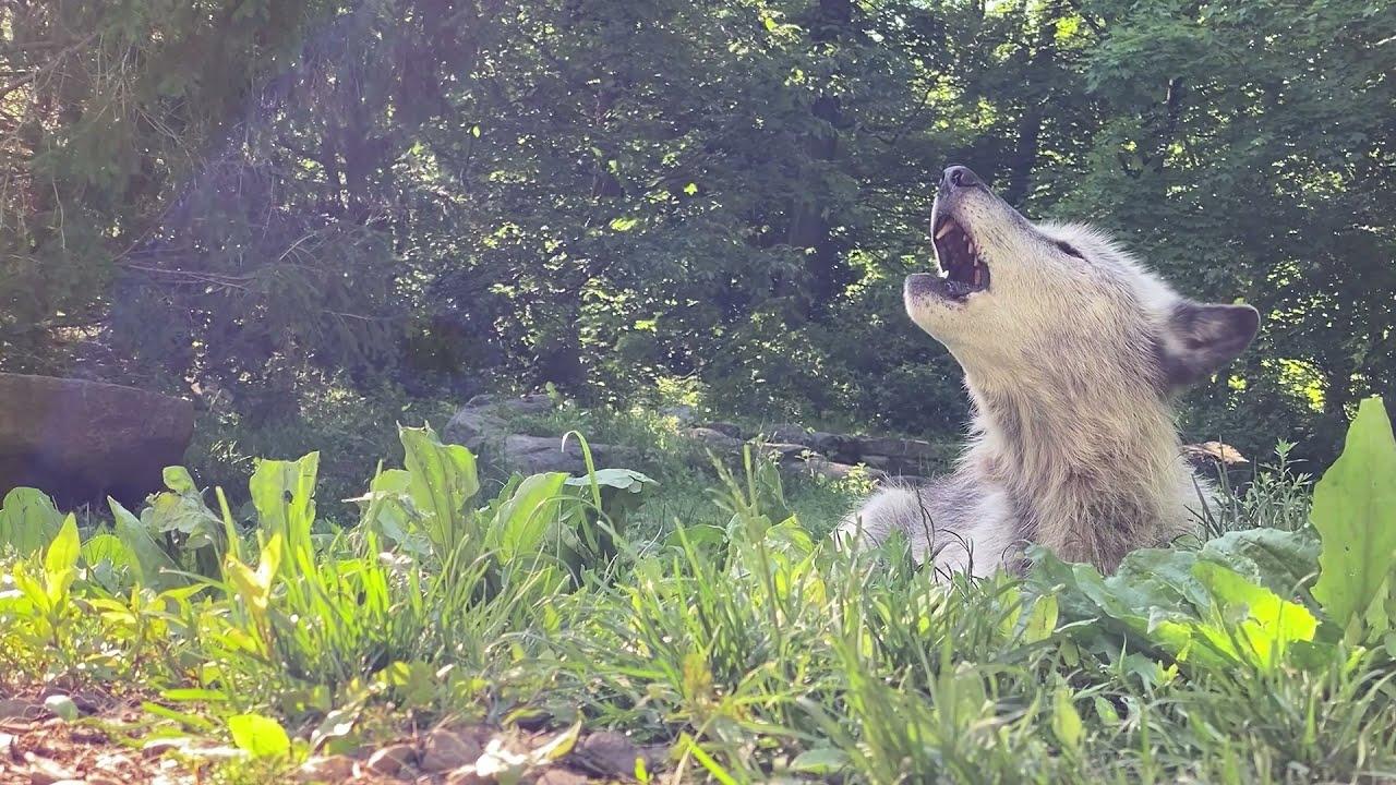Beautiful Wolf Howl