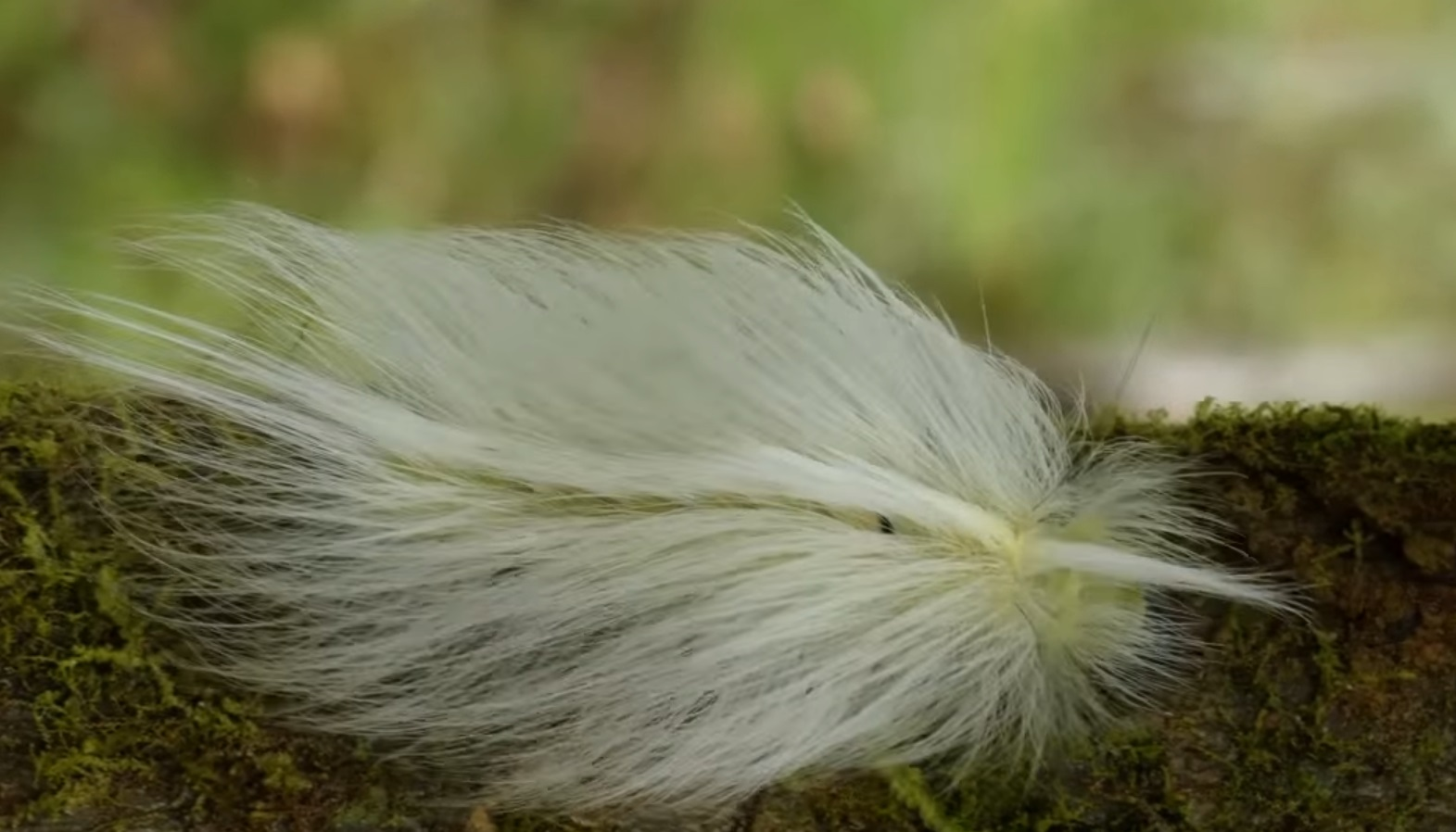 Caterpillar Disguised As Feather