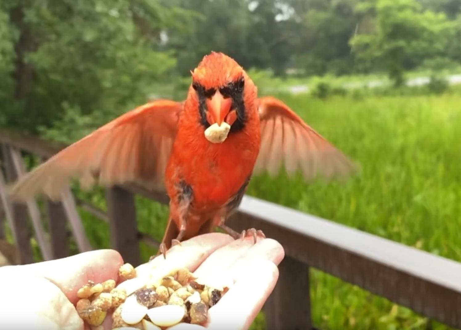 Hand-feeding Northern Cardinal