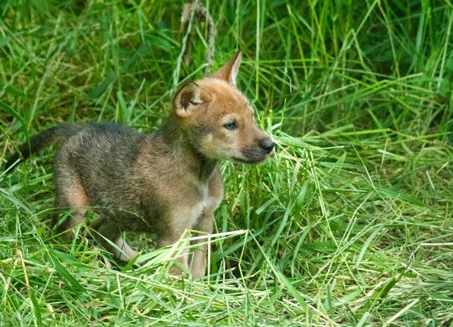 Red Wolf Pup Siblings