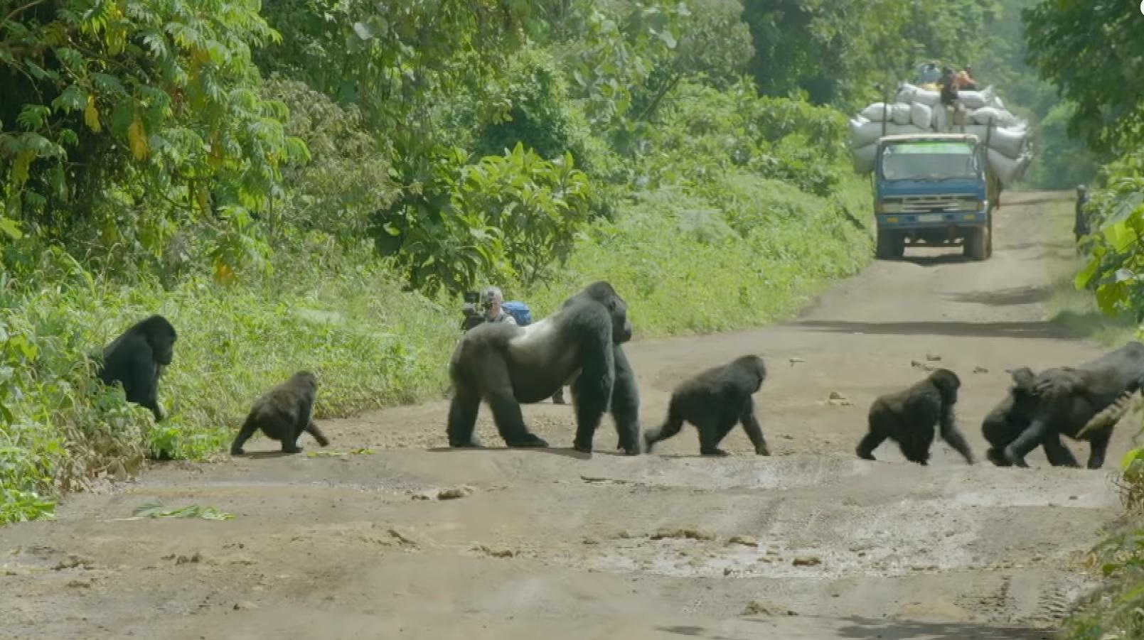 Gorilla Family Crossing The Road