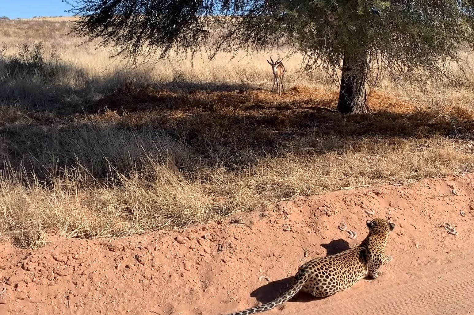 Leopard Hunting Buck