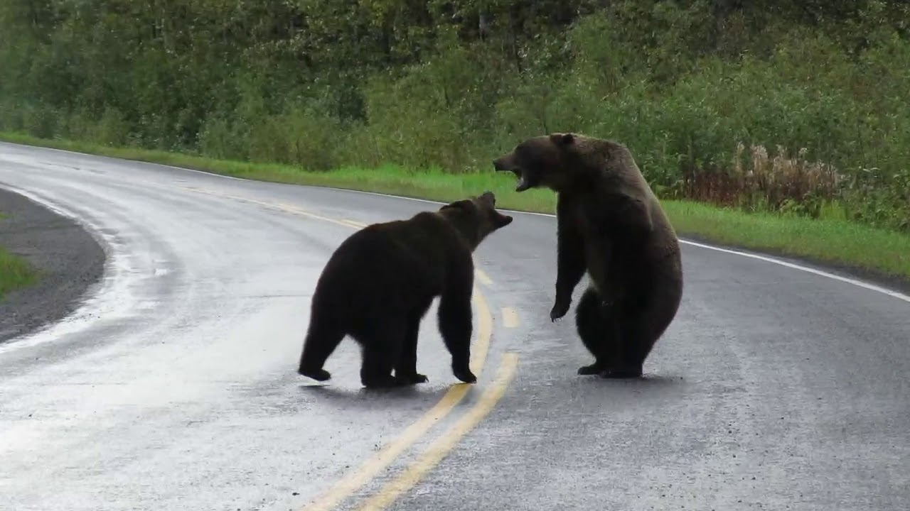 Epic Grizzly Bear Fight