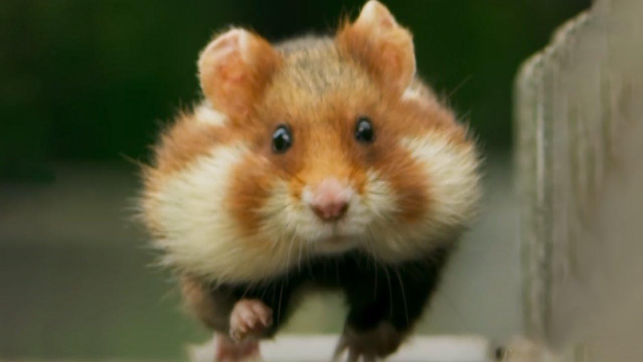 Cute Hamster Walk Video
