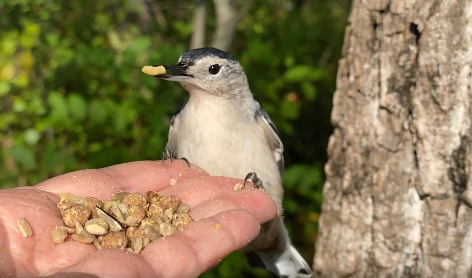 Hand Feeding White-breasted Nuthatch