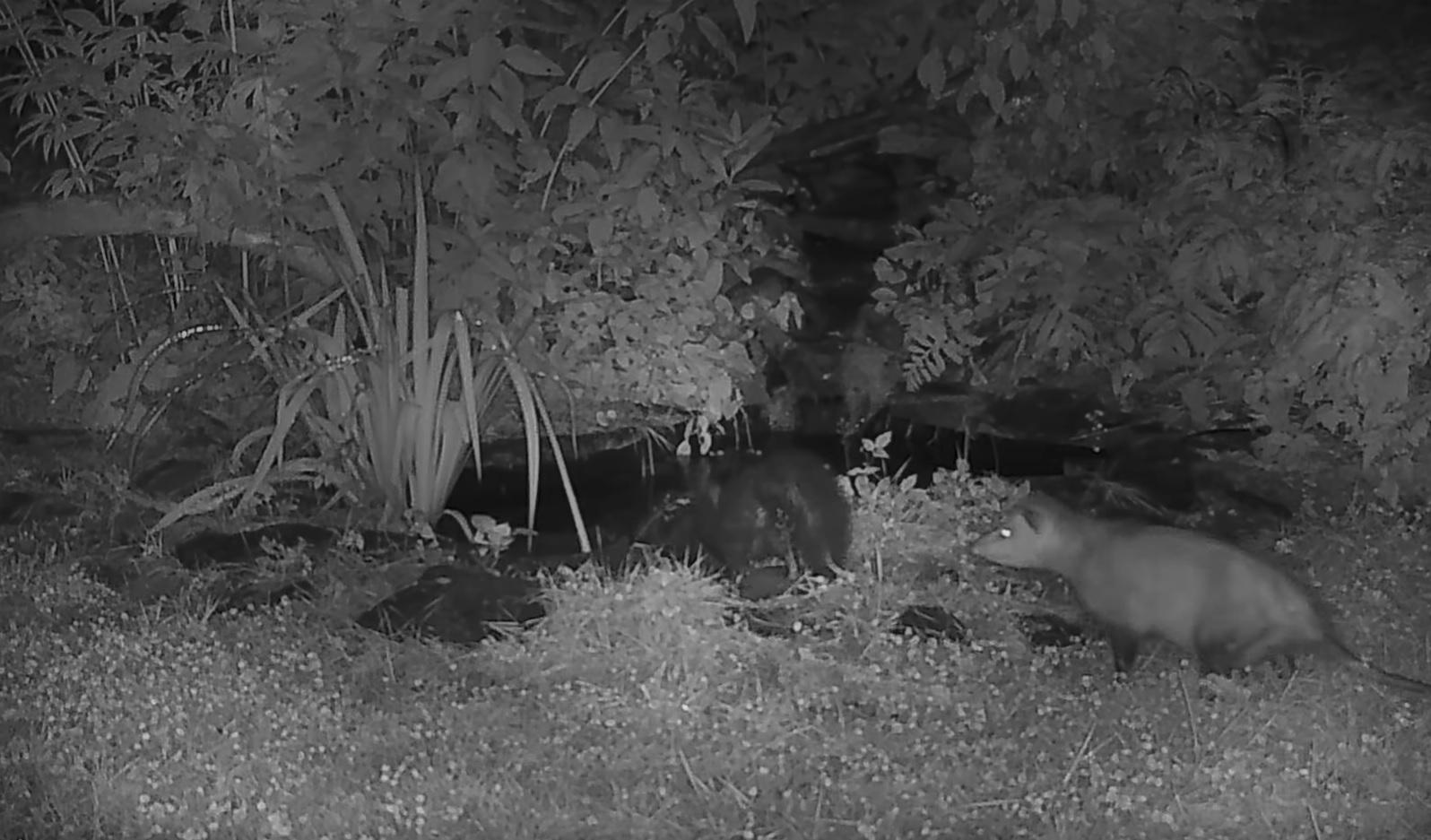 Opossum Pushes Skunk  Into  Pond Video