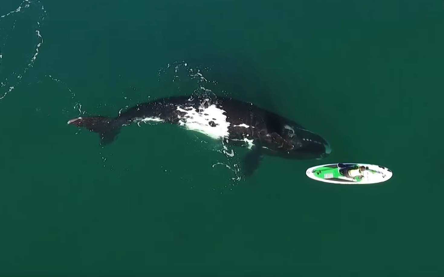 Curious Whale Nudges Paddleboarder