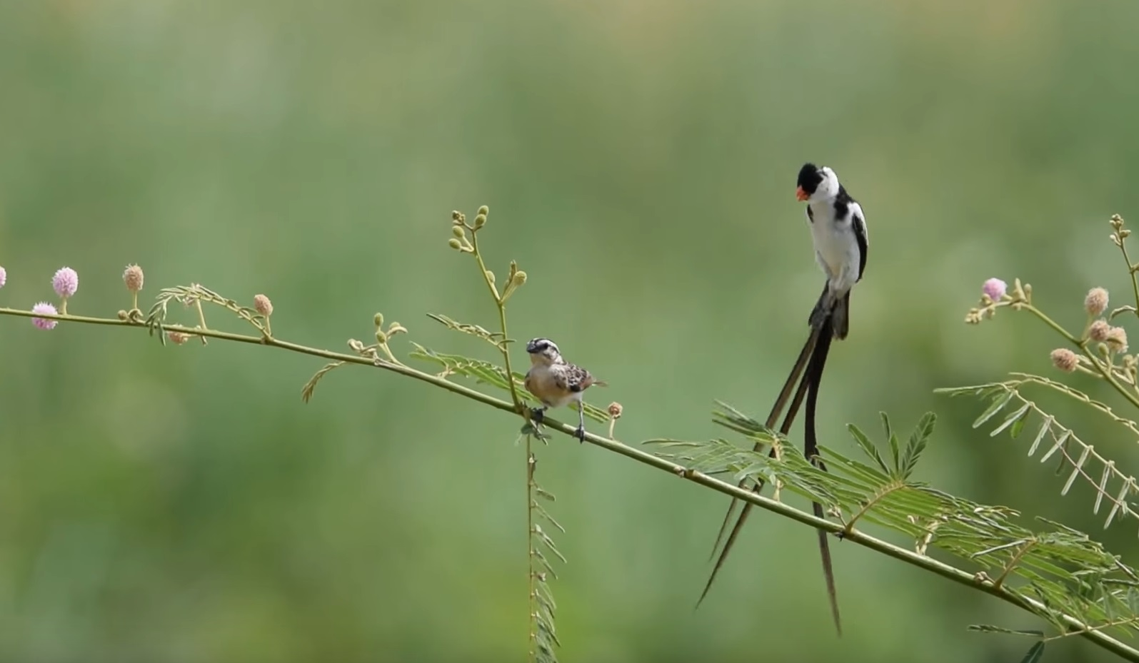Pin-tailed Whydah Courtship Dance
