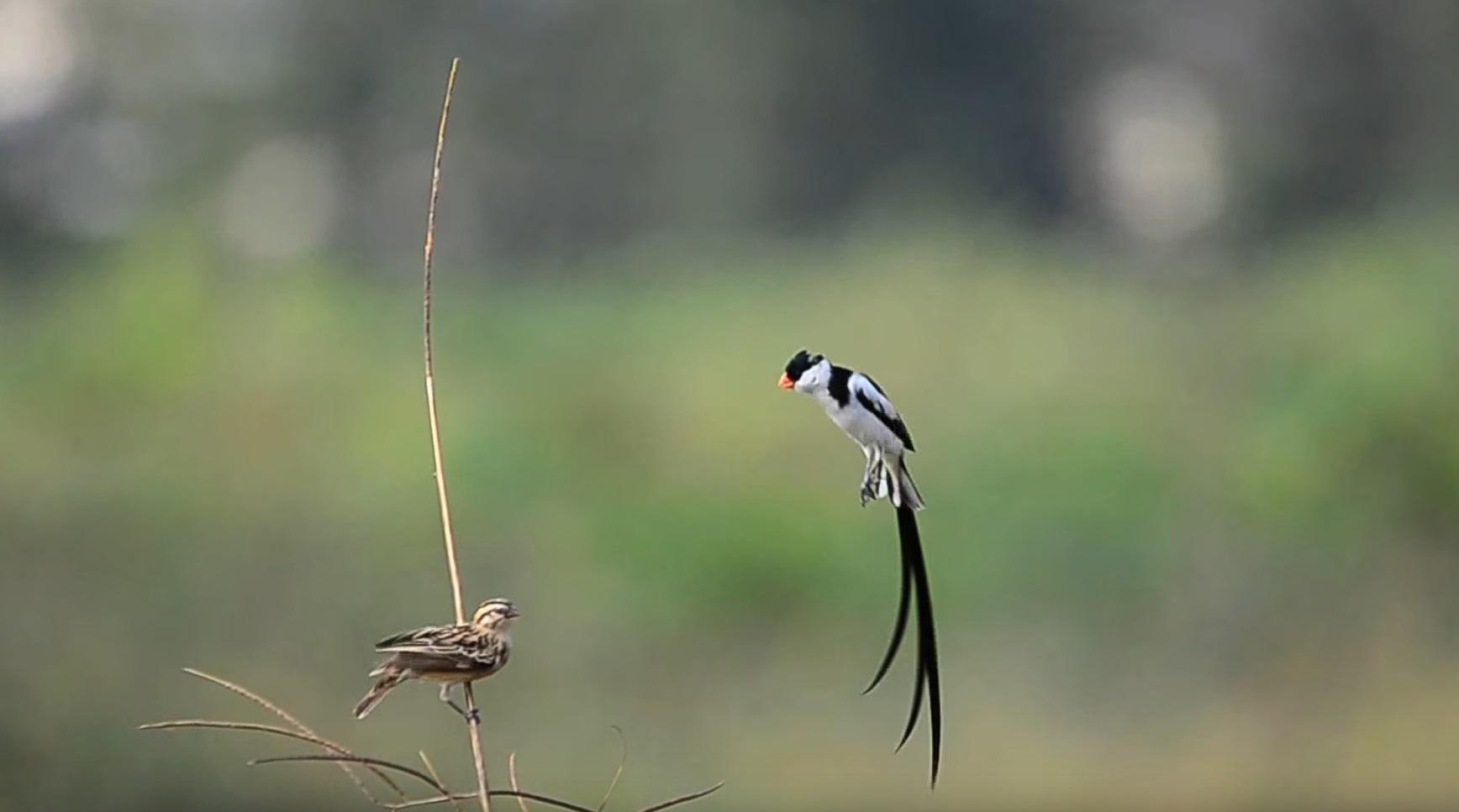 Bird Does Courtship Dance