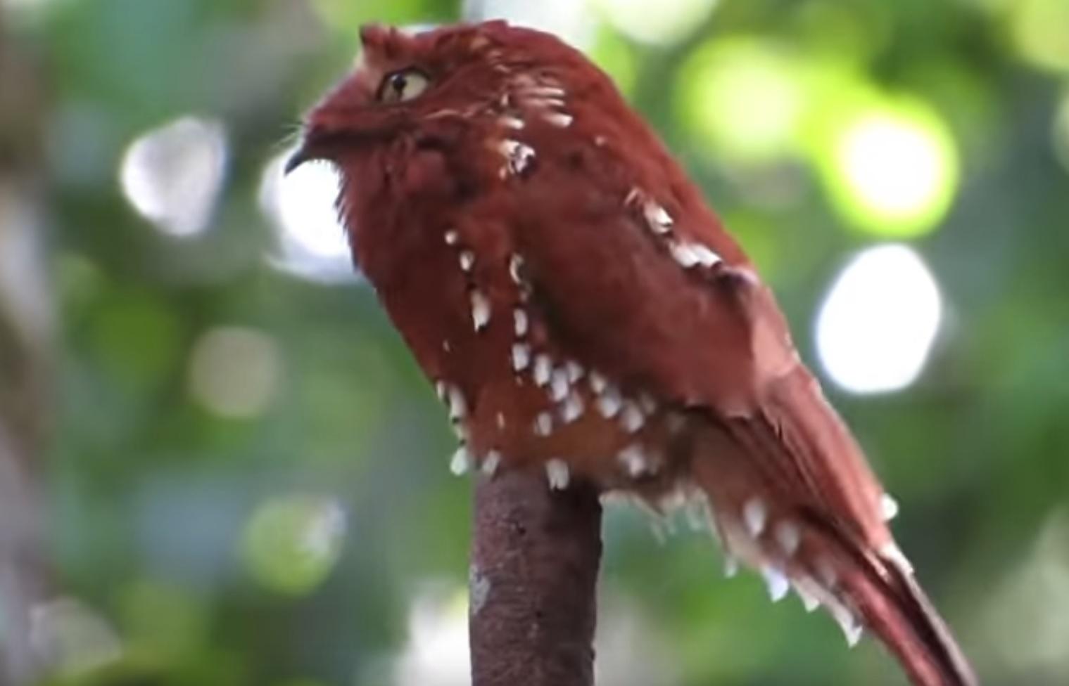Roufous Potoo Bird Displaying Strange Behaviour