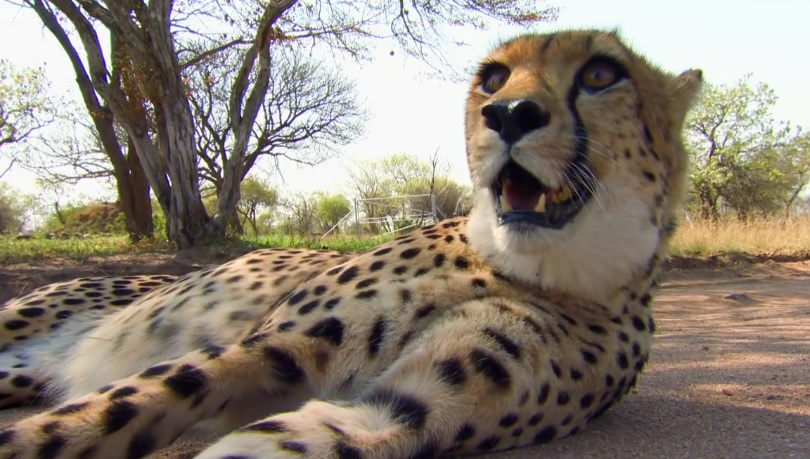 Cheetah Sprints To Practice Release  Into The Wild