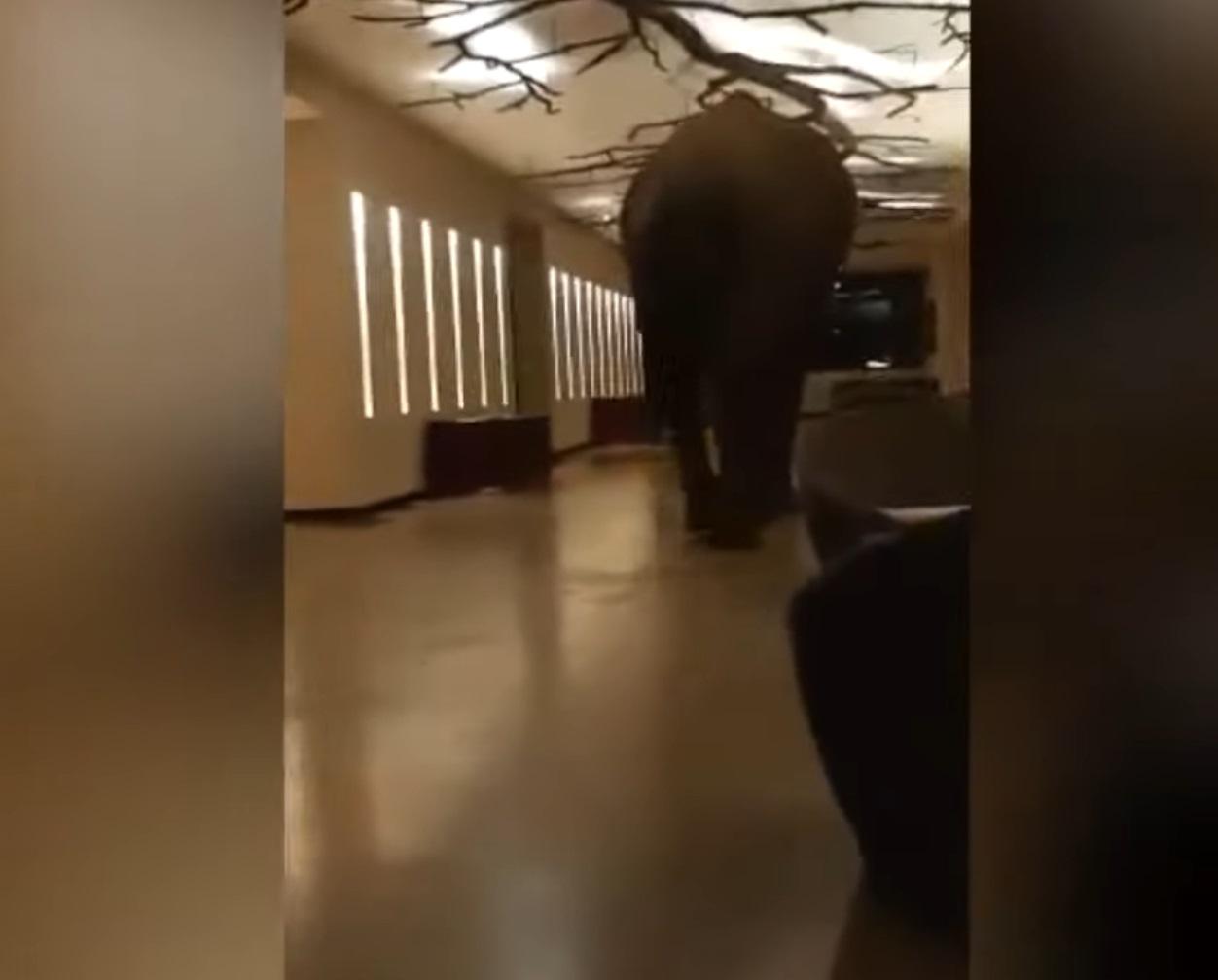 Elephant Walks Into Hotel Video