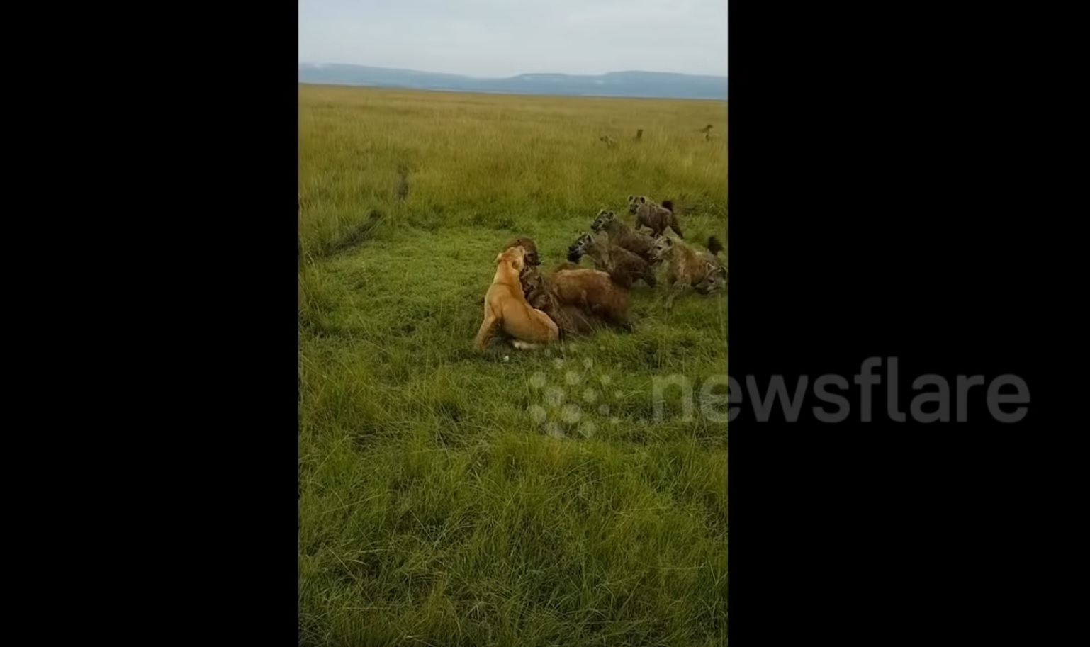 Lone Lioness Gets Attacked By Hyenas