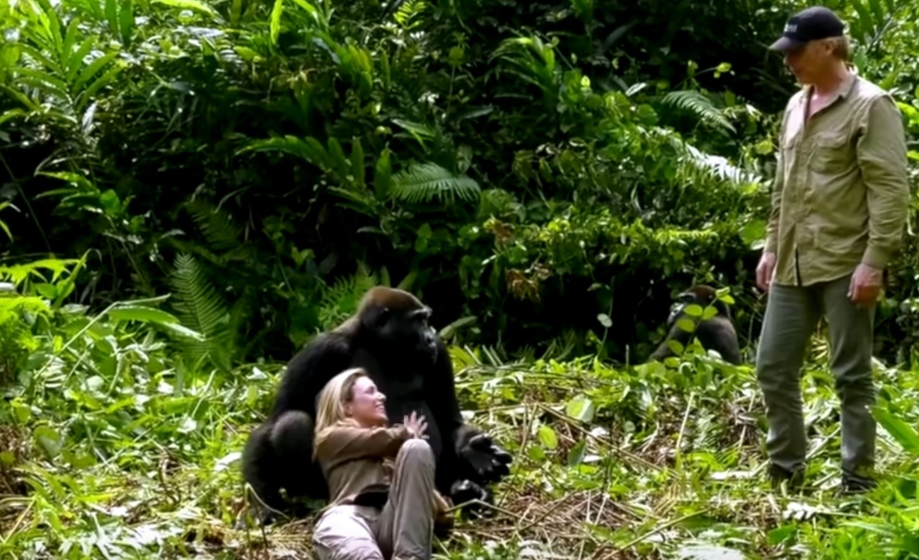 Wild Gorillas Acting Playful With Couple