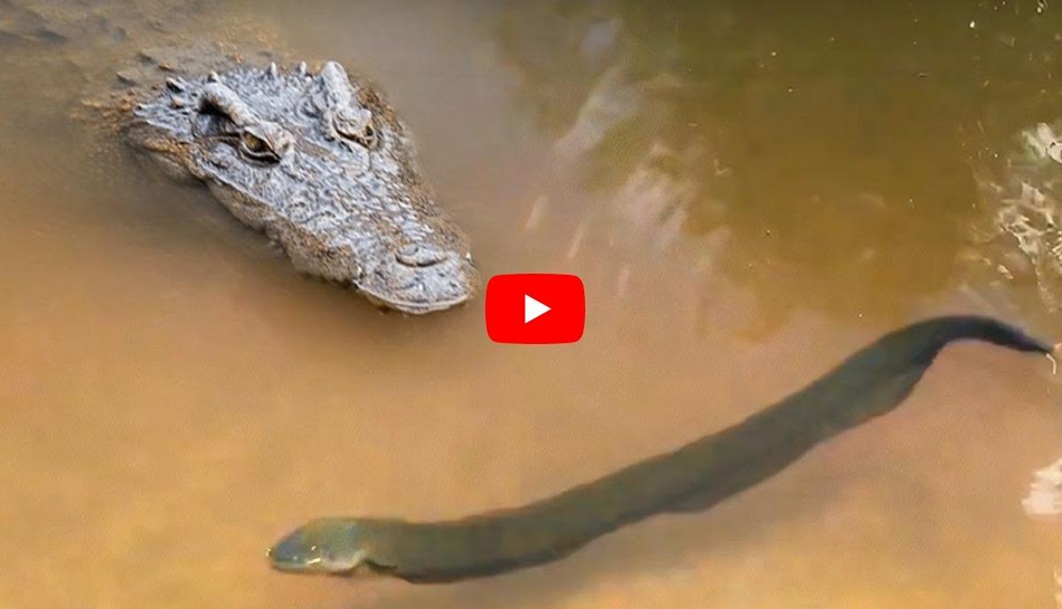 Electric Eel Vs Crocodile