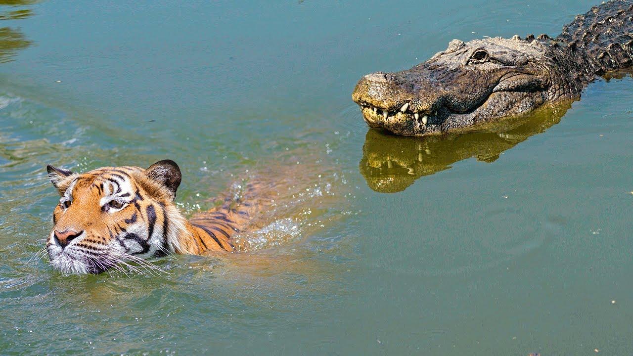 When Big Cats Face Crocodiles