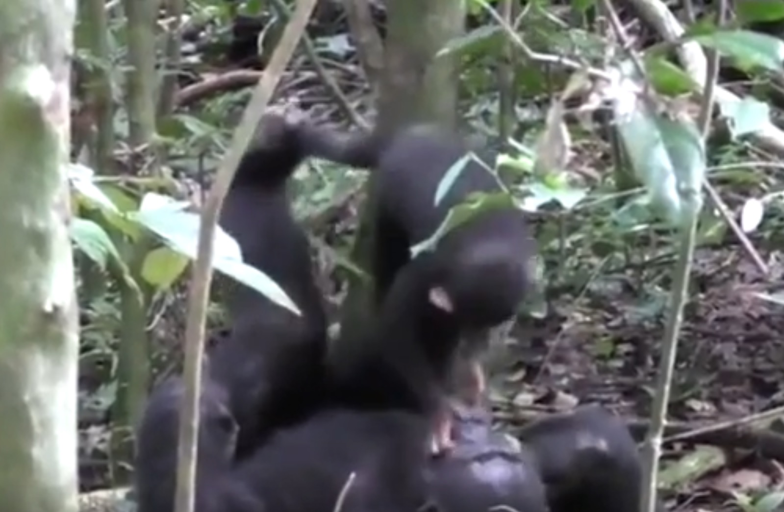 Chimp Plays Airplane With Baby