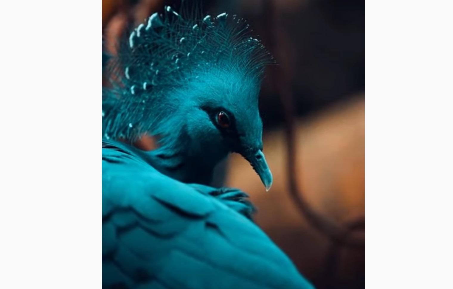 Victoria Crowned Pigeon Video