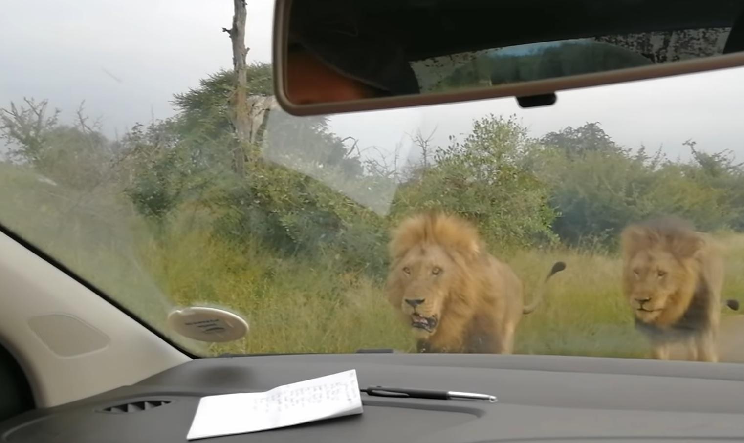 Curious Lions Inspect Car