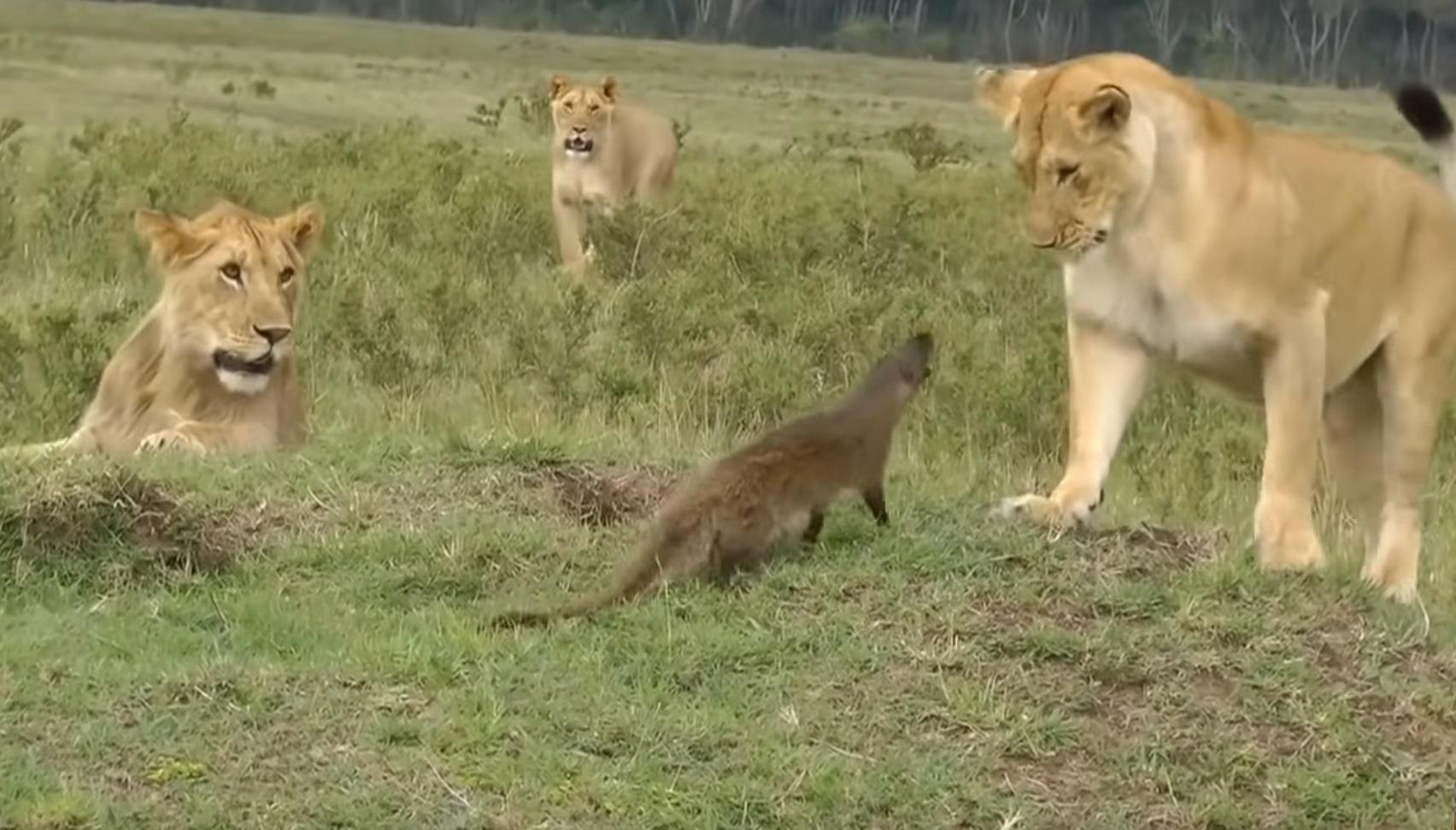 Mongoose Vs Lions Funny Video