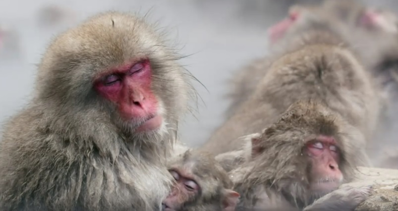 Snow Monkeys Basking The Hot Springs