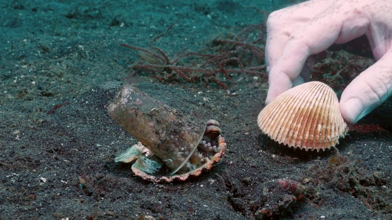 Baby Octopus Trades Cup For Shell