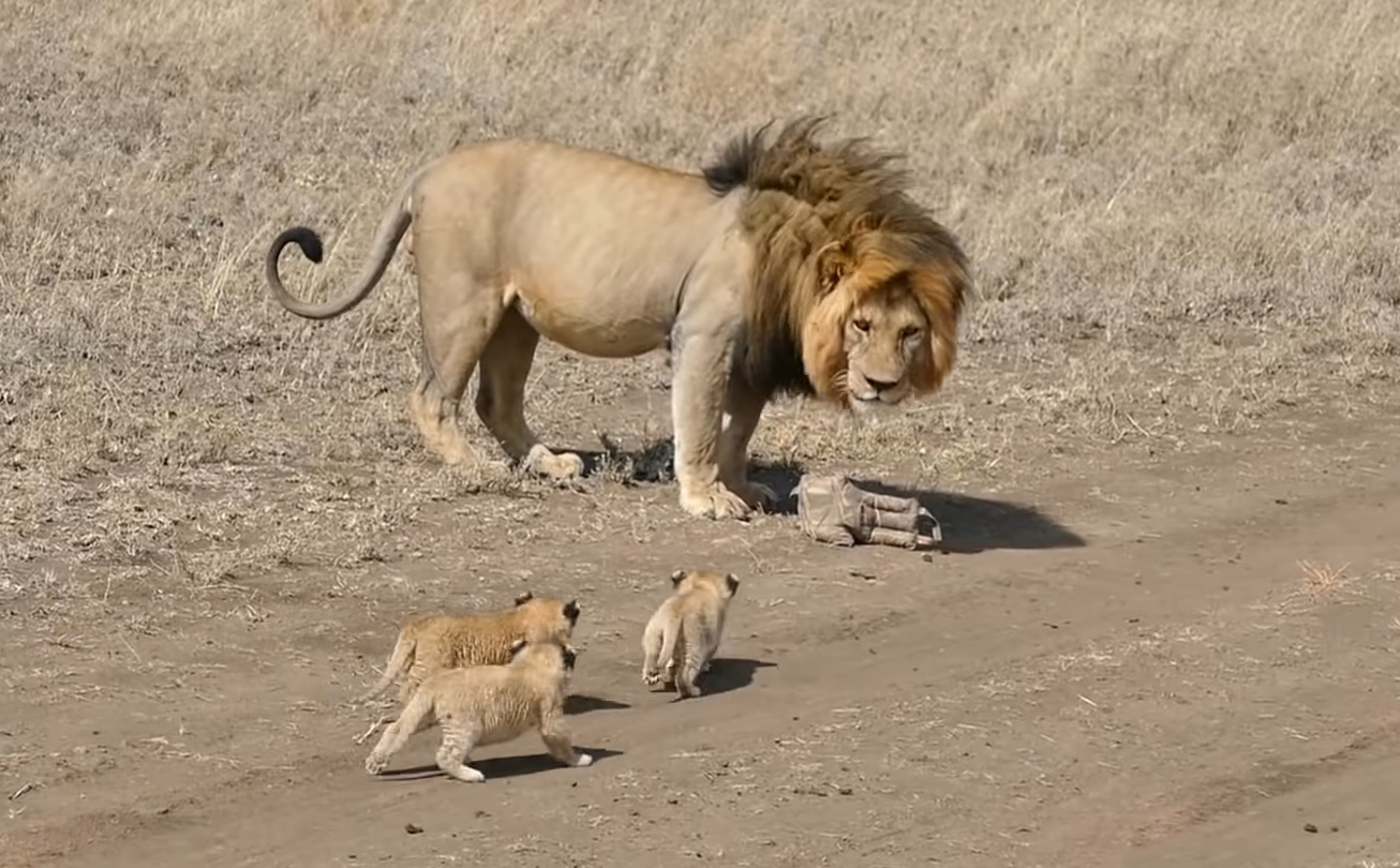 Lion Dad Tries To Run Away From Cubs