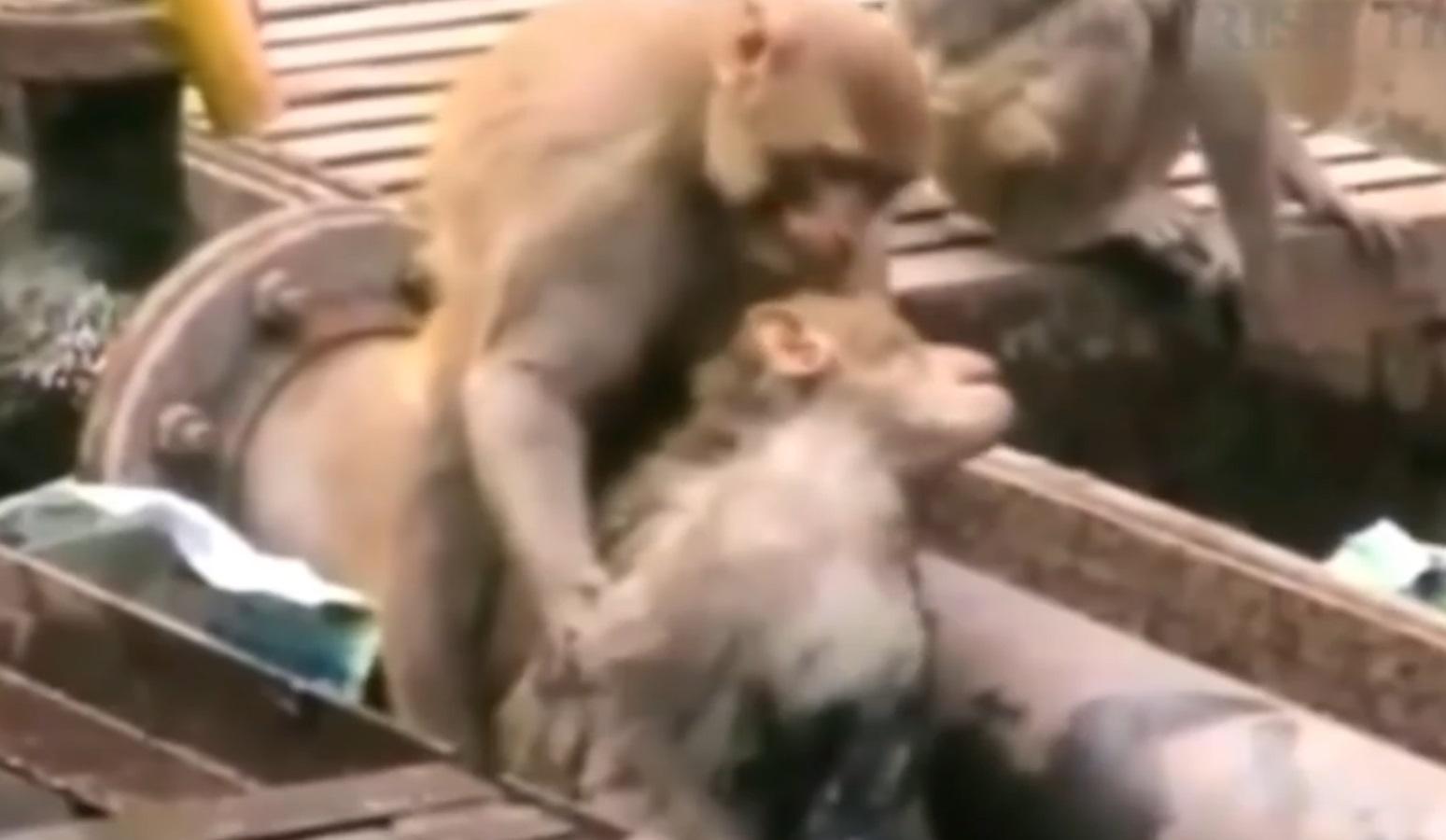 Monkey Revives Electrocutated Companion